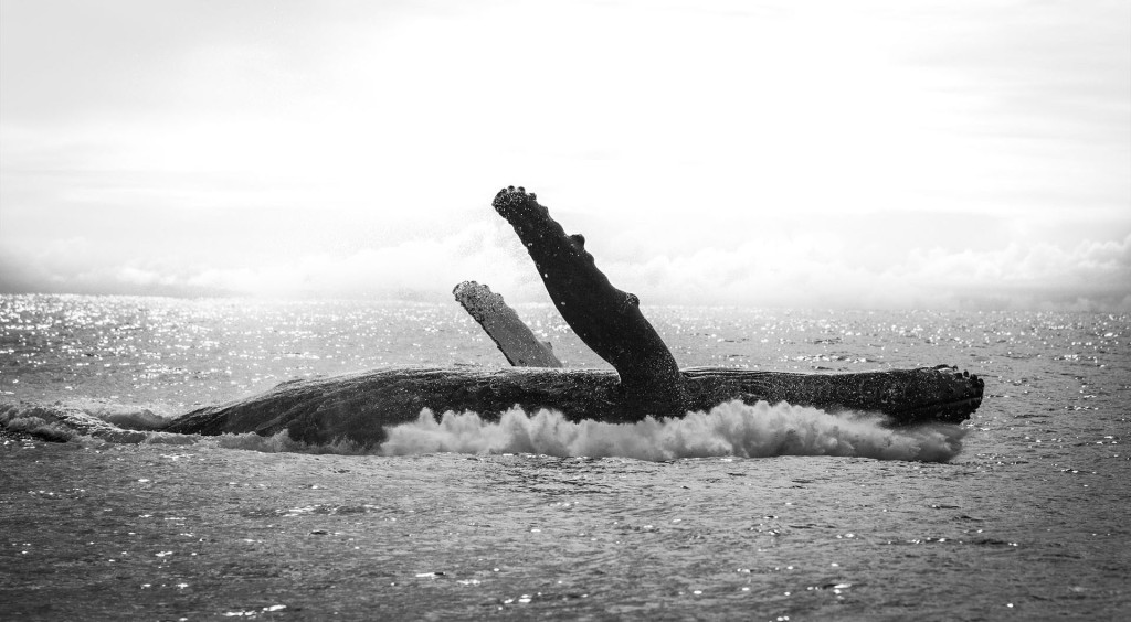 humpback whale Pierre GAY Photography